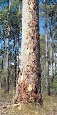 An example of an Australian Spotted Gum